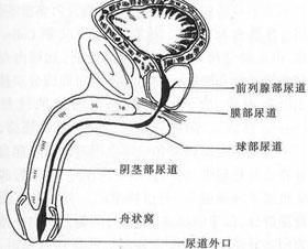 非淋菌性尿道炎是什么
